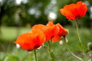 poppies-1445427-m